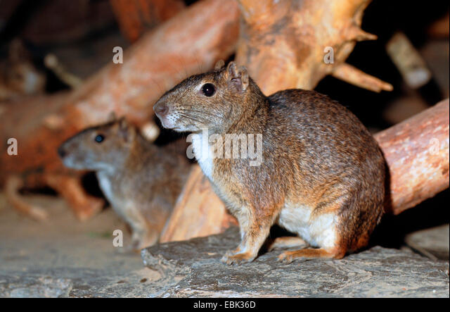 rock cavy, moco (Kerodon rupestris), portrait of two animals sitting side by side - Stock Image