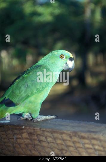 Nicaragua green parrot parakeet - Stock Image