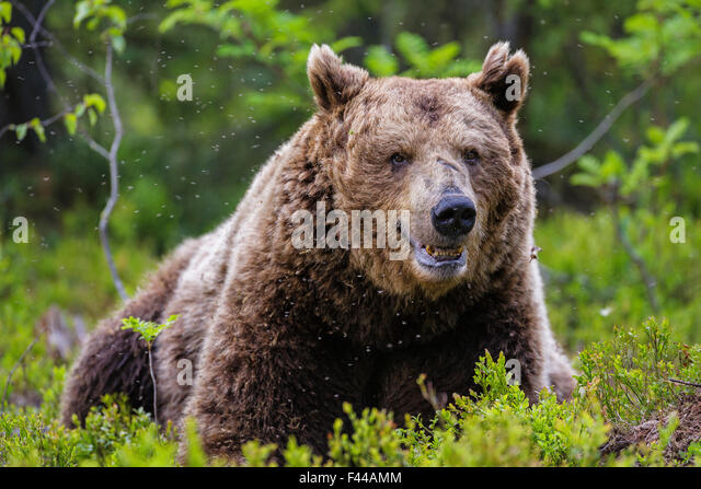 European Brown Bear (Ursus arctos arctos), a large male taking a rest in a cloud of mosquitoes. Kajaani, Finland. - Stock Image