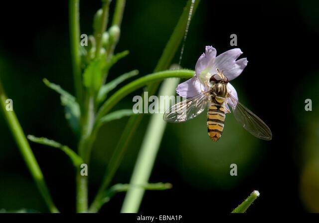 hoary willow-herb, small-flowered hairy willow-herb (Epilobium parviflorum), flower with Episyrphus balteatus, Germany - Stock Image