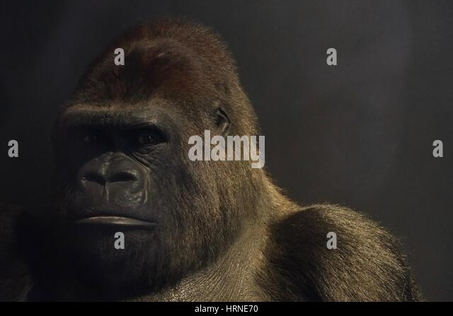 Guy the Gorilla at Natural History Museum - Stock-Bilder