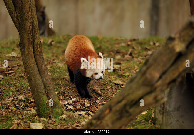 Red Panda walking on  leaf covered grass - Stock Image