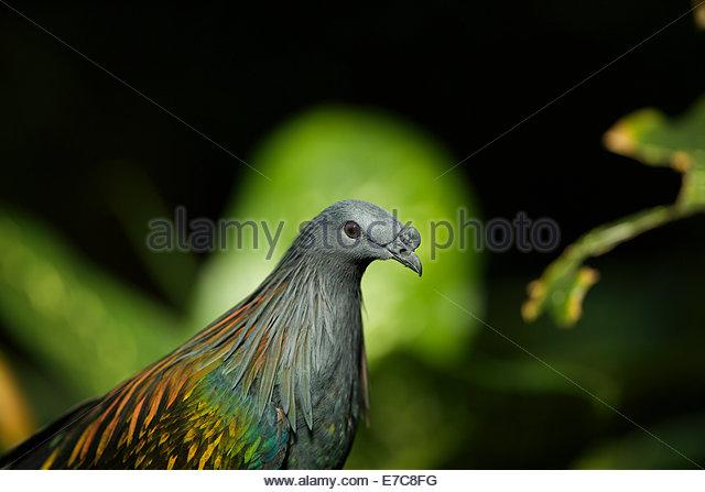 Nicobar pigeon (Caloenas nicobarica) is a pigeon found on the Islands of Nicobar - Stock-Bilder
