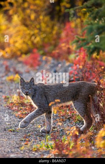 A wild Lynx Denali National Park Alaska - Stock Image