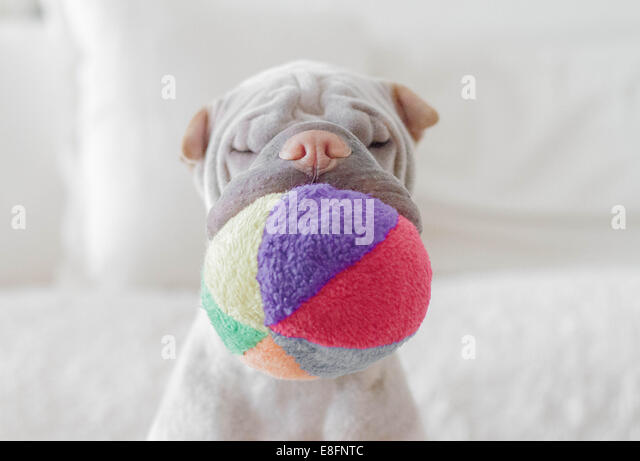 Shar pei dog with soft ball in its mouth - Stock Image