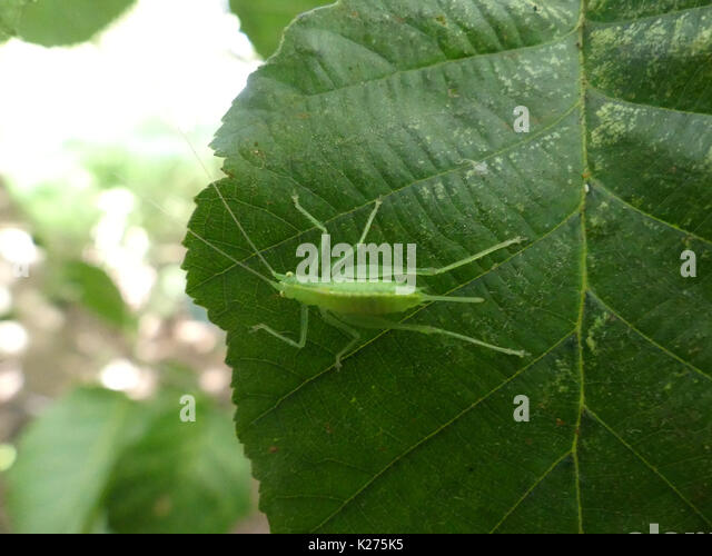 OAK BUSH CRICKET Meconema thalassinum - female Photo: Tony Gale - Stock Image