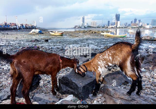 Mumbai India Asian Worli Haji Ali Dargah mosque tomb causeway Haji Ali Bay Arabian Sea goats - Stock Image
