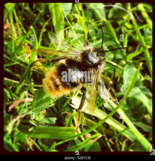 Close up of a bumble bee - Stock-Bilder