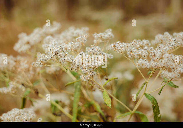 Common weed found in the southern United States that has gone to seed. - Stock Image