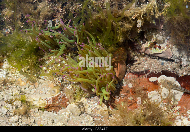 The snakelocks anemone (Anemonia viridian) habitat in a rock pool at the law tide St. Brides Bay Pembrokshire NP - Stock Image