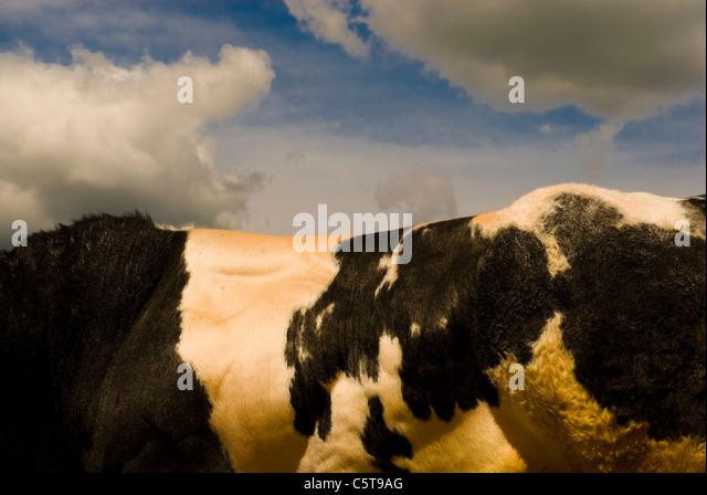 British blue bull muscular back - Stock Image