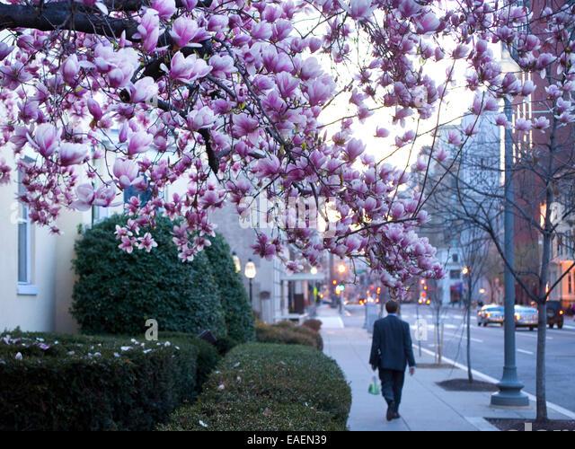 Flowering tree and Man walking down sidewalk in Washington D.C. at Spring time - Stock Image