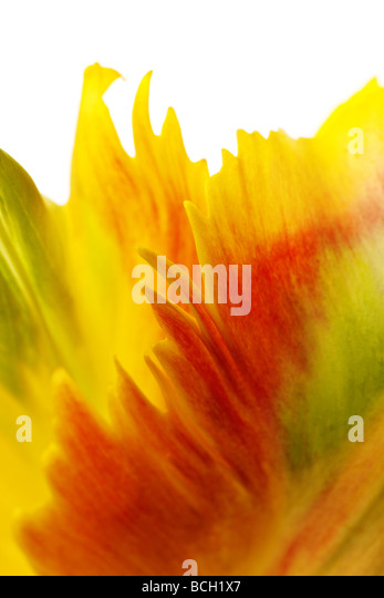 yellow tulip petals isolated on white background - Stock-Bilder