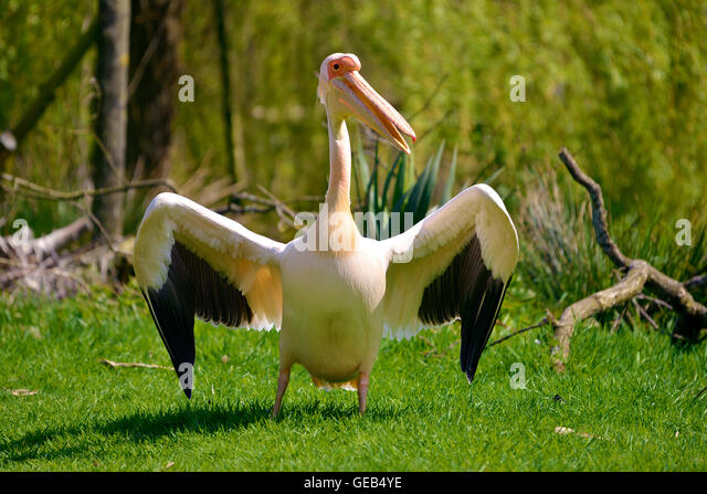 White pelican (Pelecanus onocrotalus) standing on grass with outspread wings - Stock Image
