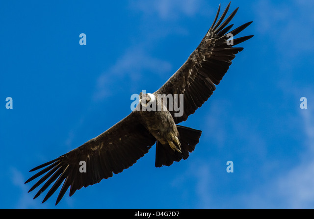 Close up of an Andean Condor (Vultur gryphus) soaring in the blue sky - Stock Image