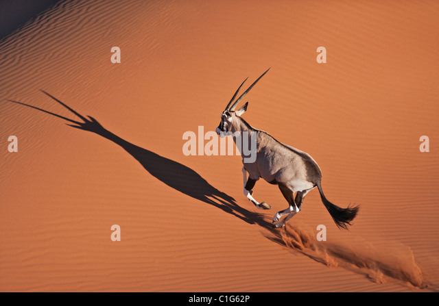 Gemsbok (Oryx gazella) In typical desert habitat Namibian desert sand dunes - Stock Image