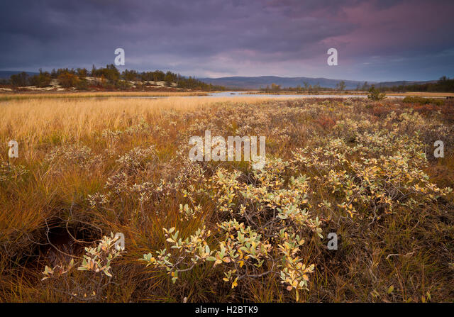 Autumn evening at Fokstumyra nature reserve, Dovre kommune, Oppland fylke, Norway. - Stock-Bilder