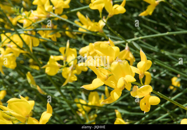 Yellow Flowers Bloom Across Horizontal Image in Spring - Stock Image