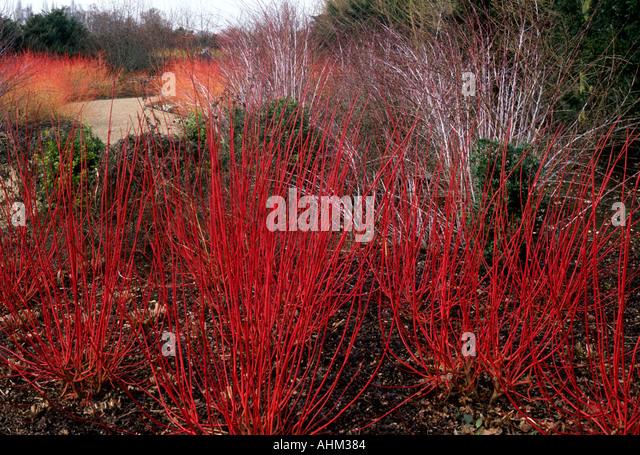 Winter garden cornus alba sibirica stock photos winter - Cornus alba sibirica ...