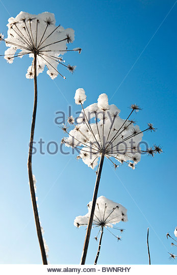 Anthriscus sylvestris (Cow parsley) covered with snow against blue sky - Stock Image