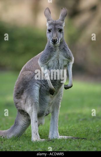 Red Kangaroo - Macropus rufus - Stock Image