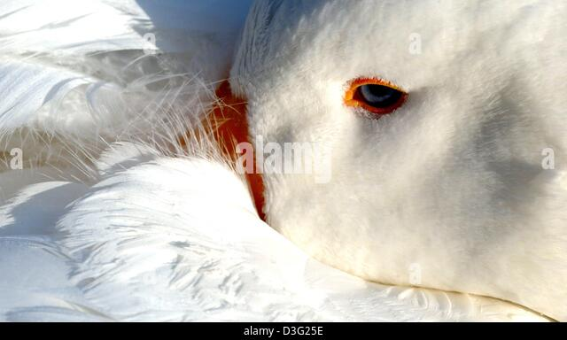 (dpa) - This morning, a lazy goose decides to stay in and buries its beak deep into its warm and compfy feathers - Stock Image