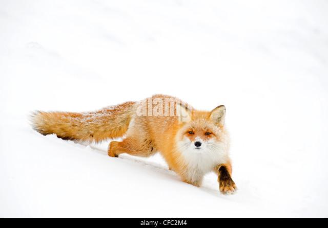Hokkaido red fox, Japan - Stock Image
