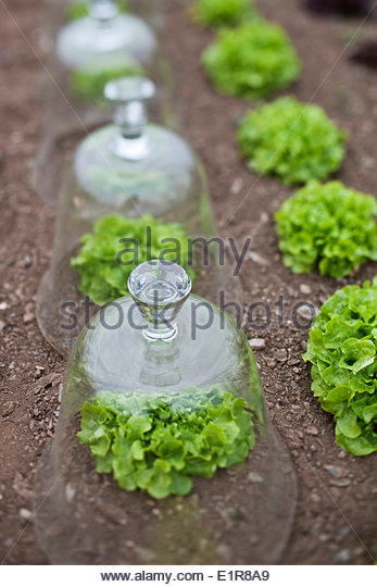 Organic lettuces under glass domes - Stock Image