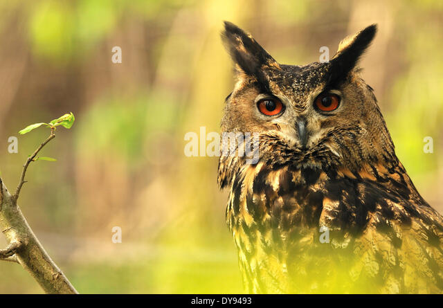 Eagle owl Bubo bubo owl owls night bird of prey birds of prey bird birds peering spring raptor ears paintbrush ears - Stock Image