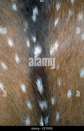 Deer skin decoration in Mapuche house, Parque Nacional Lanin, Argentina - Stock Image