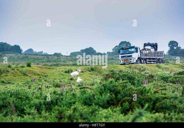 Sheep on the Clee Hills graze and rest on the grass as a lorry passes by on a busy road. - Stock Image