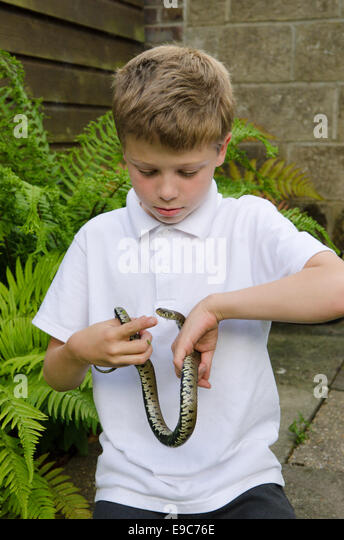 eight-year-old boy fearlessly handling a grass snake [Natrix natrix] UK. - Stock Image
