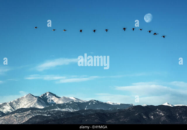 Flock of geese flying in front of the moon  over peaks of the Rocky Mountains, Colorado - Stock Image