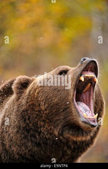 ADW: Ursus arctos: SPECIMENS - animaldiversity.org