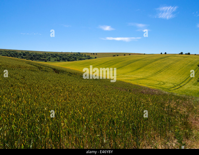 Cornfields on the South Downs near Falmer, Brighton, East Sussex, UK - Stock Image