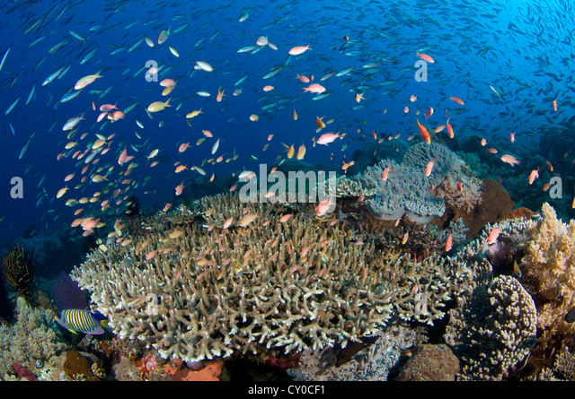 Damsel fish stock photos damsel fish stock images alamy for Types of small fish