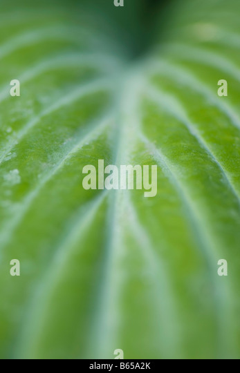 Variegated leaf, extreme close-up - Stock Image