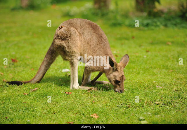 Kangaroo eating grass - Stock Image