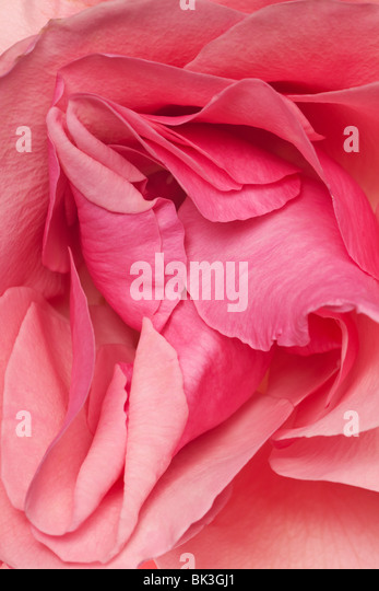 pink fresh rose petals arranged in a background pattern - Stock-Bilder