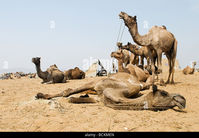 Camels at pushkar camel festival - Stock Image