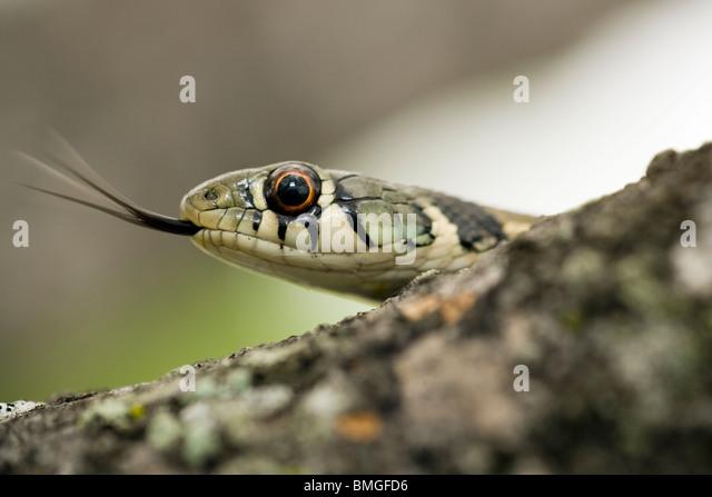 Checkered Garter Snake - Los Novios Ranch - near Cotulla, Texas USA - Stock Image