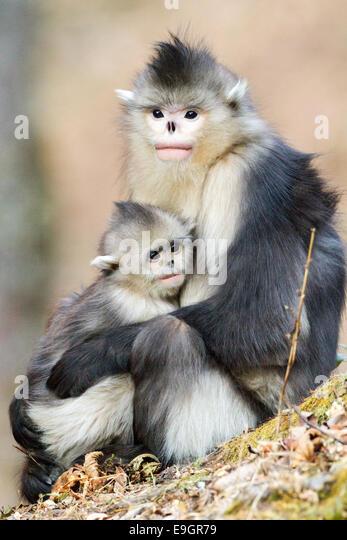 Adult female Yunnan Snub-nosed Monkey (Rhinopithecus bieti) holding infant - Stock Image