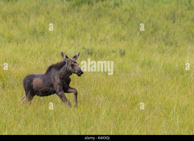 Moose Calf Prances Through Grassy Field with copy space to right - Stock Image
