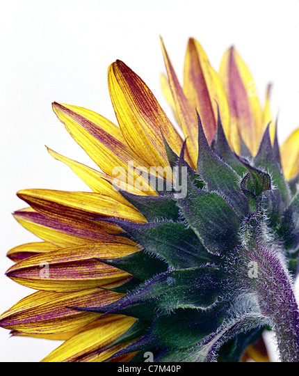 back of a sunflower - Stock Image