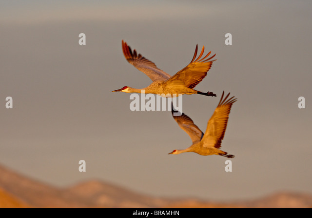 Two Sandhill Cranes in flight in early morning light, Bosque Del Apache National Wildlife Refuge, New Mexico, USA - Stock-Bilder