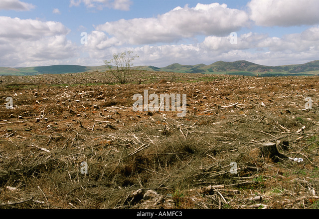 Badly managed deforestation of Scottish pine forest near Edinburgh Scotland - Stock Image