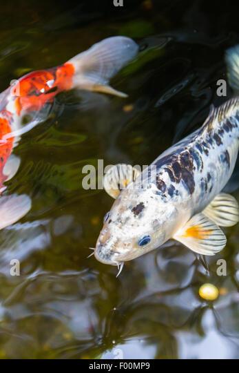 Japanese koi fish stock photos japanese koi fish stock for Shallow koi pond