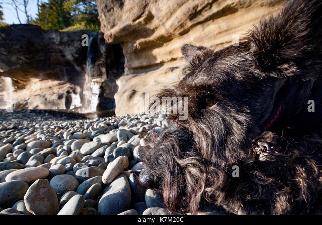 Schnauzer on Sandcut Beach - Jordan River Regional Park - near Sooke, Vancouver Island, British Columbia, Canada - Stock Image