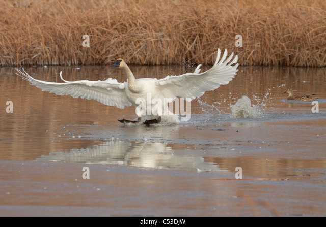 A single Trumpeter Swan comes in for a landing at Potter Marsh near Anchorage, Southcentral Alaska, Autumn - Stock Image