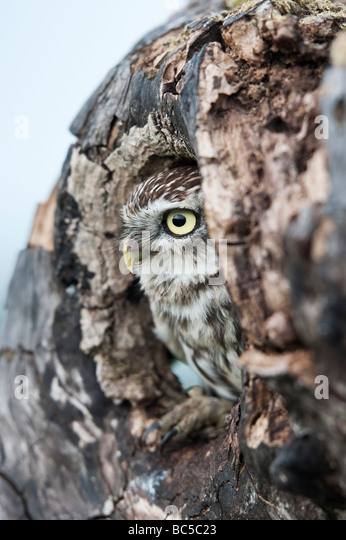 Little owl, Athene noctua, in a tree hollow in the english countryside - Stock-Bilder